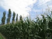 Resultados de nuevas variedades de maíz para grano de ciclo 700 y variedades transgénicas
