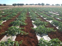 Utilización del compost de orujo de uva en el cultivo del melón en Castilla-La Mancha