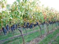 Aplicaciones de la visión artificial en viticultura (y II)