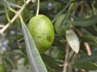 Gestión integrada de plagas en el olivar