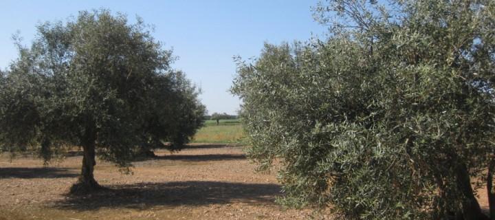 Papel de las micorrizas arbusculares en la recuperación de variedades de olivo autóctonas