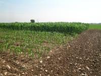 Influencia de la fecha de siembra en el maíz en regadío del valle del Ebro