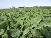 Uso de cultivos captadores de nitrógeno para optimizar la producción de biogás