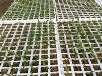Residuos de sarmiento de vid de la DO de Jumilla reconvertidos en sustrato de alta calidad