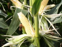 Los agricultores españoles lideran la innovación europea en el cultivo de maíz