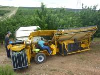 Recolección mecanizada de cereza para industria