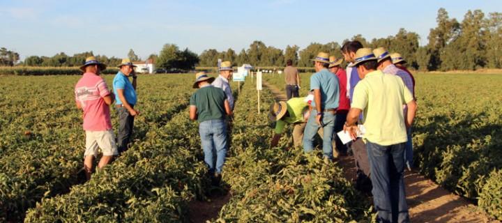 Syngenta muestra en campo sus variedades para tomate industria