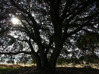 La encina, una aliada de la reserva hídrica del suelo gracias a sus hojas