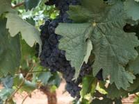 El Ejecutivo aprueba nuevas medidas del Programa de apoyo al sector vitivinícola para el periodo 2014-2018