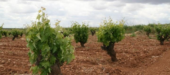 El Magrama analiza con el sector el nuevo sistema de autorizaciones de plantación del viñedo