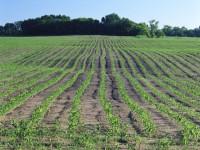 Los cultivos transgénicos copan más de 181 millones de héctareas a nivel mundial