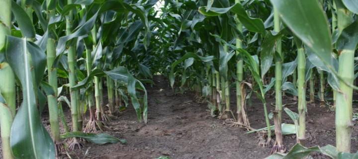 Los Estados miembros podrán decidir sobre el cultivo de OMGs en su territorio