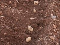 Neiker crea dos nuevas variedades de patata de gran valor nutricional