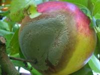 Disponemos de suficientes herramientas para controlar Monilinia spp en fruta de hueso?