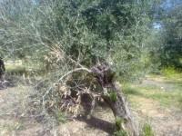 Un gen del olivo permite el diagnóstico específico de la verticilosis