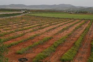 Durante buena parte del año se mantiene la cubierta vegetal para paliar los efectos de la clytra, única plaga que ha afectado hasta el momento a los pistacheros manchegos.
