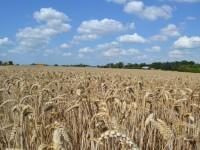 El Ministerio de Agricultura publica la Guía de Gestión Integrada de Plagas en el cultivo de los cereales de invierno