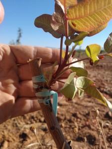 La tasa de prendimiento de los injertos en campo es baja y solo puede hacerse cuando la planta ha adquirido suficiente vigor.
