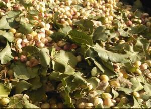 La variedad Kerman, un pistacho de gran calibre, requiere un mínimo de 1.400 horas de frío anuales.