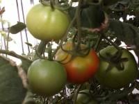 Murcia experimenta con 47 variedades tradicionales de tomate