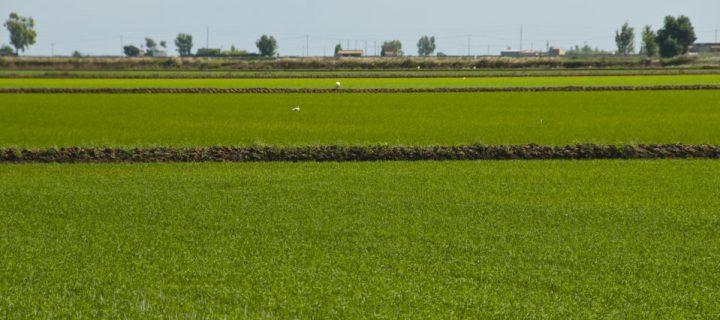 ArrozOrEx creará una herramienta para implementar la trazabilidad del arroz de extremeño