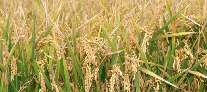 GreenRice evalúa la sostenibilidad de los sistemas de producción de arroz