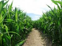 La fertilización en cobertera, esencial para optimizar rendimientos en el proyecto LIFE + Futuro Agrario