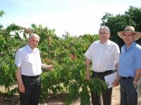 Murcia presenta las primeras 13 preselecciones de cerezo obtenidas del programa de mejora genética