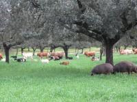 El cultivo de triticale reduce los costes de alimentación animal en la dehesa en invierno