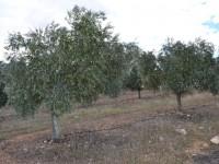 El INIA reúne investigadores españoles en torno a la Xylella fastidiosa en el olivar