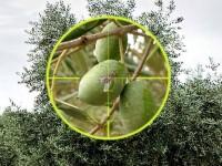 Fastac Fly, el nuevo insecticida de Basf para el control de la mosca del olivo