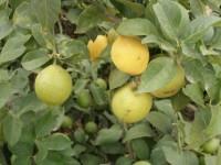 Ailimpo revisa y actualiza su Manual de Materias Activas recomendadas en el cultivo del limón