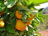 El IVIA impulsará la obtención de variedades de cítricos con apoyo de técnicas biológicas
