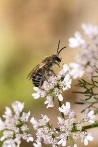Polinizadores, abeja solitaria Colletes