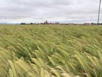 Las 6.000 hectáreas de cebada híbrida Hyvido sembradas en el norte de España producen un 21% más que las variedades convencionales