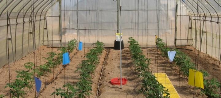 Los materiales de cubierta de los invernaderos pueden potenciar las características nutricionales del tomate, según el IMDA
