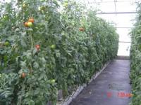 Cálculo del volumen de aplicación de fitosanitarios en el cultivo de tomate en invernadero