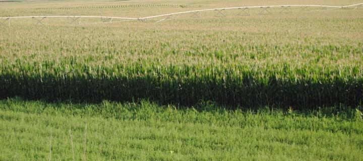 Las producciones de maíz en Lleida