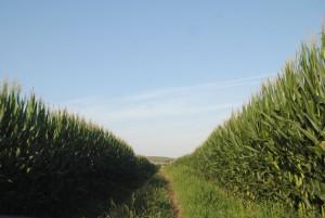 Una de las parcelas de maíz de La Rápita.