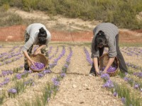 Agricultores leridanos recuperan el cultivo de la flor de azafrán