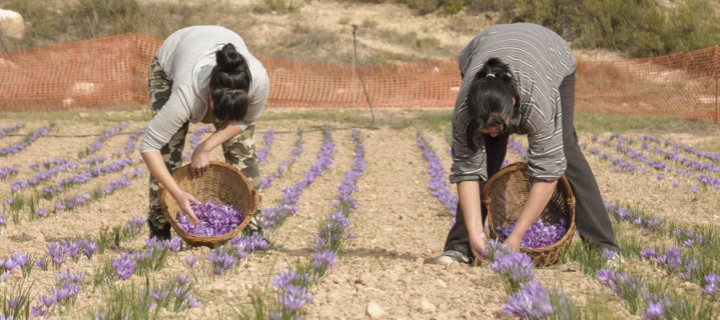 Lleida Recupera El Cultivo De La Flor De Azafran Innovagri - Cultivo-azafran