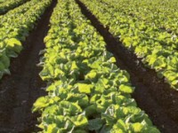 Soluciones AgCelence de Basf para el cultivo de la lechuga