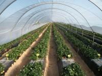 Investigadores de California se interesan por técnicas de producción y experimentación en fresa del IFAPA