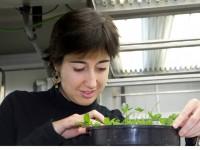 Investigadores de la UPV mejoran la calidad de la lechuga modificando las condiciones de cultivo