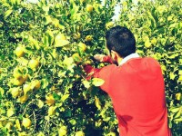 El limón ecológico de Almería conquista el mercado gourmet