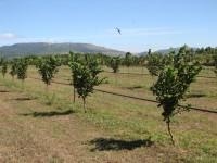 Las nuevas plantaciones de avellano