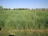 Gramíneas perennes destinadas a biomasa como alternativa en tierras marginales