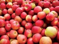 La floración del manzano en el bajo Fluviá, en posible peligro por el cambio climático