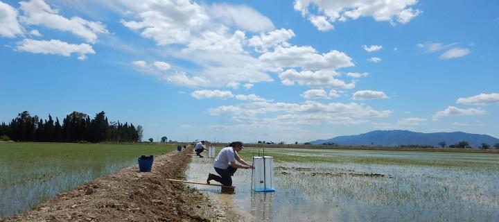 El IRTA estudia cómo mitigar las emisiones de metano en el cultivo del arroz
