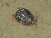 El IRTA demuestra la efectividad de dos molusquicidas para combatir la plaga del caracol manzana